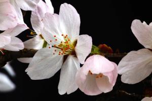 cherry blossom photos Terumi