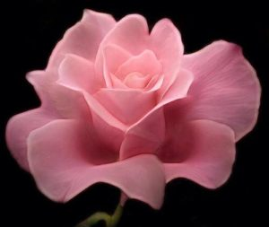 Most beautiful pink rose on black