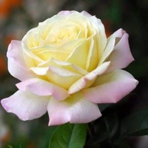 cream rose pink tips
